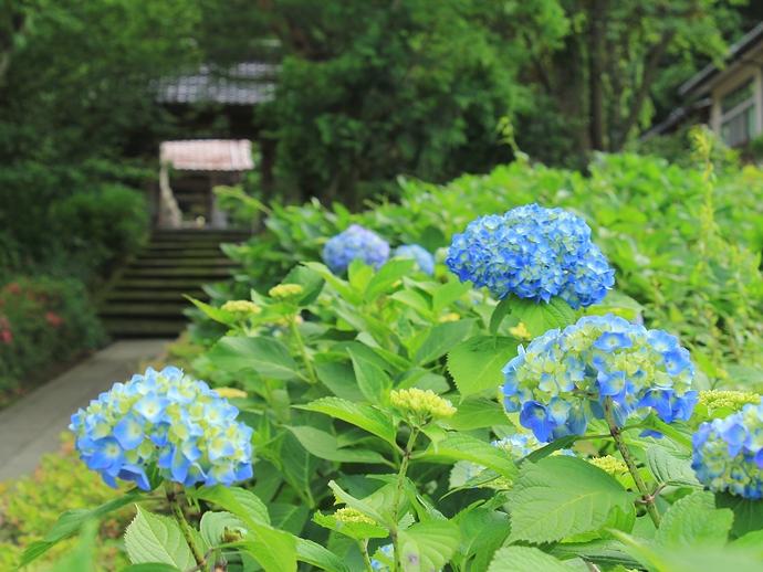 金沢市のあじさい寺 本興寺