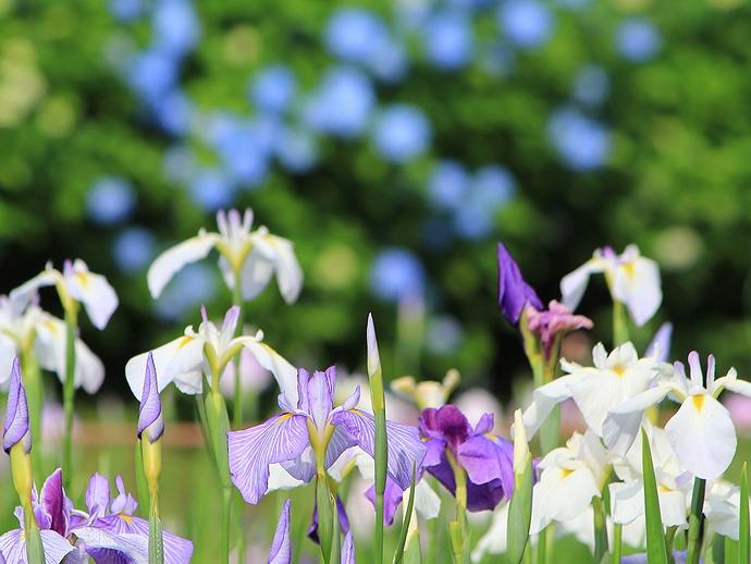 卯辰山花菖蒲園 花菖蒲と紫陽花が競い咲く