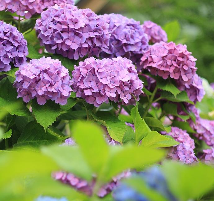金沢市卯辰山花菖蒲園の紫陽花