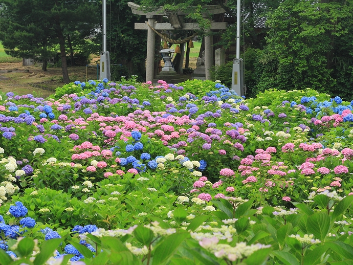 あじさい寺のお庭の紫陽花