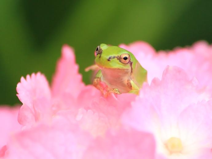 ピンクの紫陽花とカエル(金沢市本興寺にて)