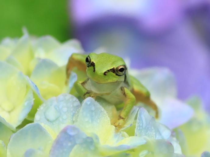 紫陽花の上で遊ぶカエル(金沢のあじさい寺・本興寺にて)