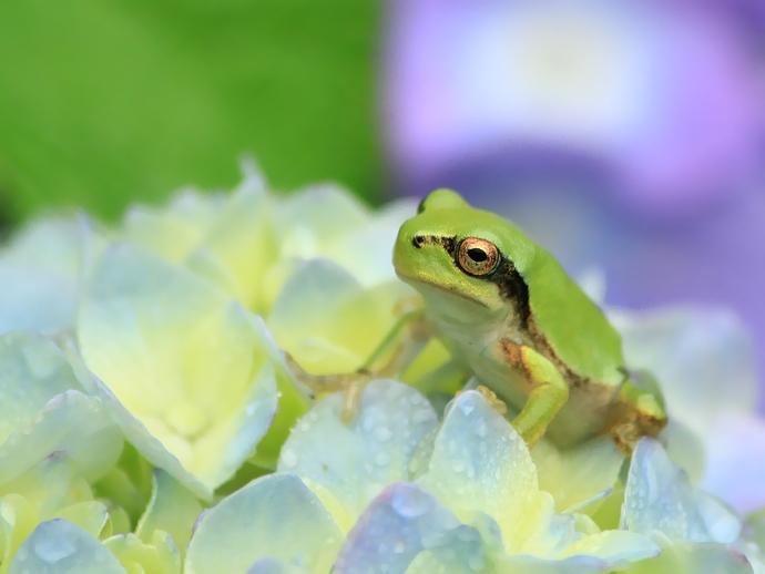 紫陽花と蛙のコラボレーション(金沢市のあじさい寺・本興寺)