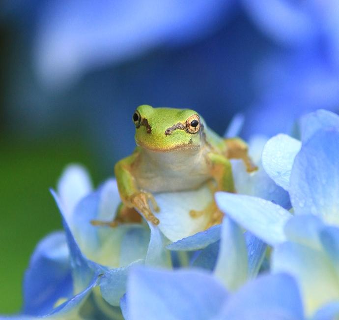 金沢のあじさい寺 紫陽花と蛙