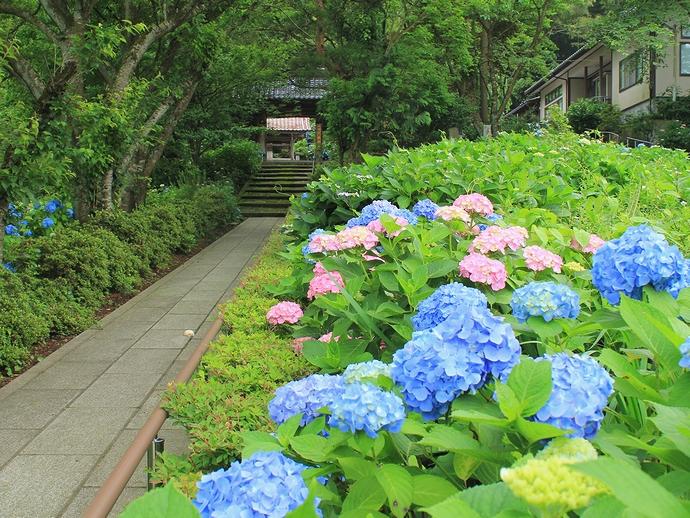金沢市のあじさい寺・本興寺の参道の様子