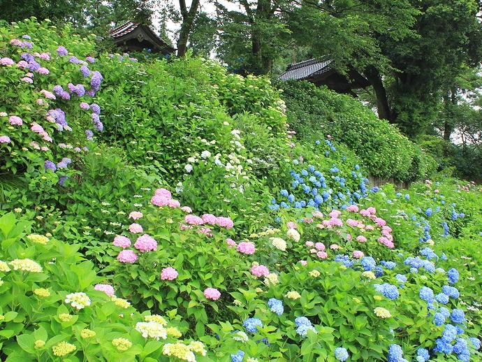 金沢市のあじさい寺・本復寺のアジサイ