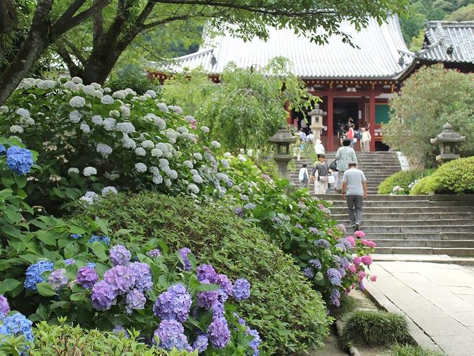 奈良・矢田寺のあじさい