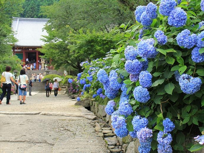 奈良のあじさい寺・矢田寺(大和郡山市)