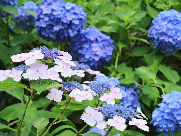 奈良のあじさい寺 矢田寺の「あじさい園」