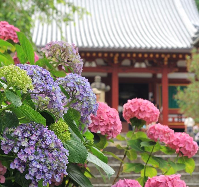 矢田寺の紫陽花 本堂とともに