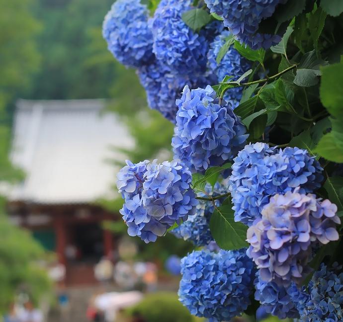 矢田寺の涼やかな青い紫陽花