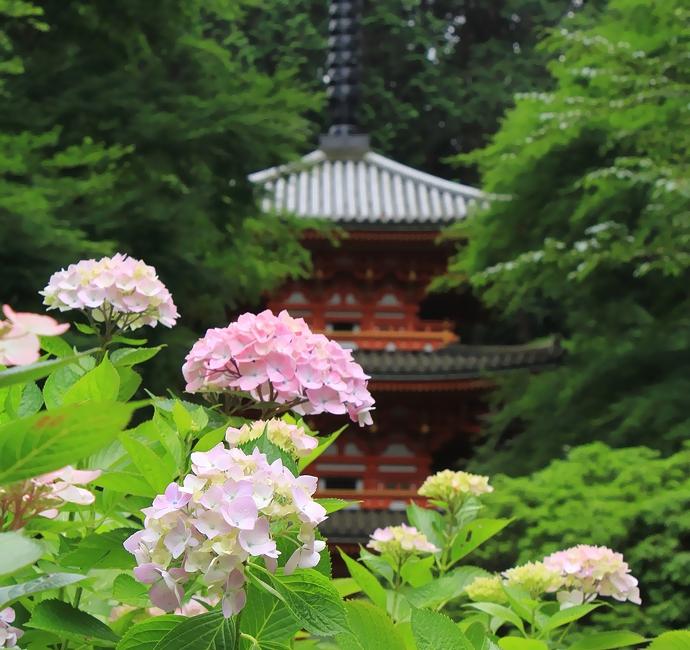 京都の岩船寺 三重塔と紫陽花