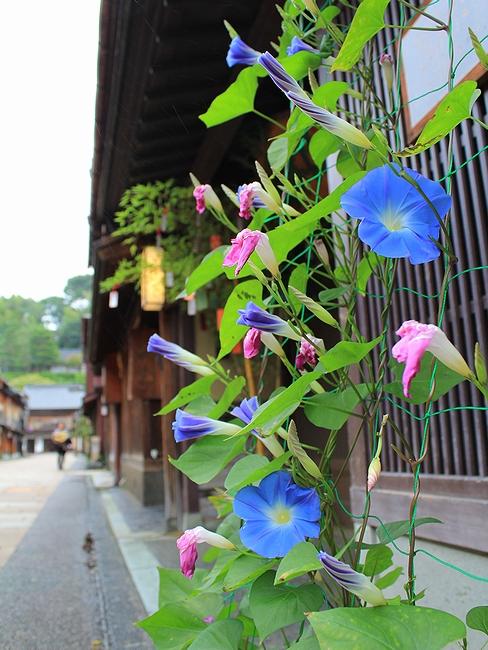 金沢市ひがち茶屋街 夏の花・朝顔が咲く