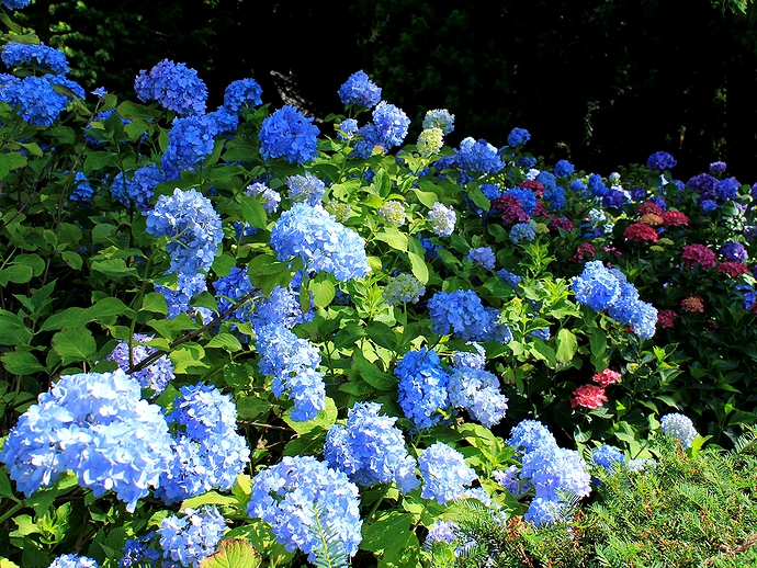 信濃のあじさい寺弘長寺の庭園