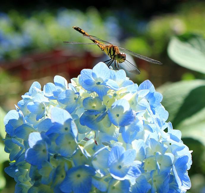 紫陽花の上でトンボがくつろぐ(松本市弘長寺にて)
