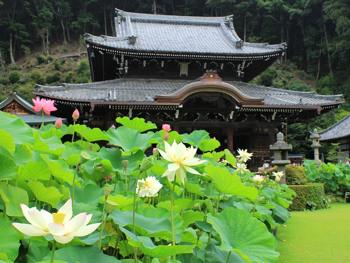 三室戸寺 本堂とハスの花