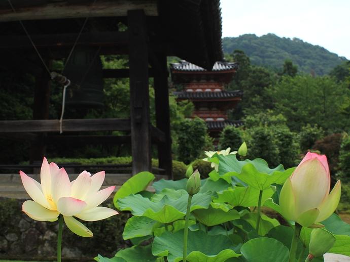 三室戸寺のハスの花