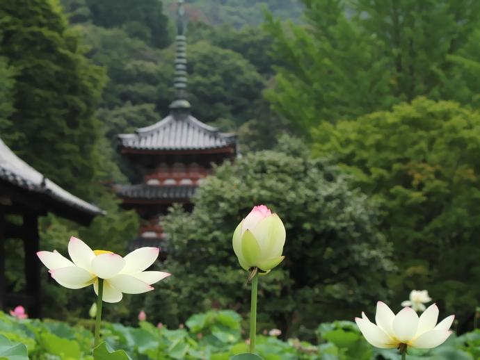 三室戸寺 三重塔とハスの花