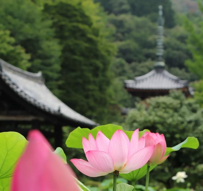 京都 三室戸寺のハスの花三重塔