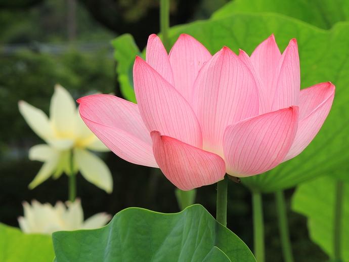 京都 三室戸寺のハスの花