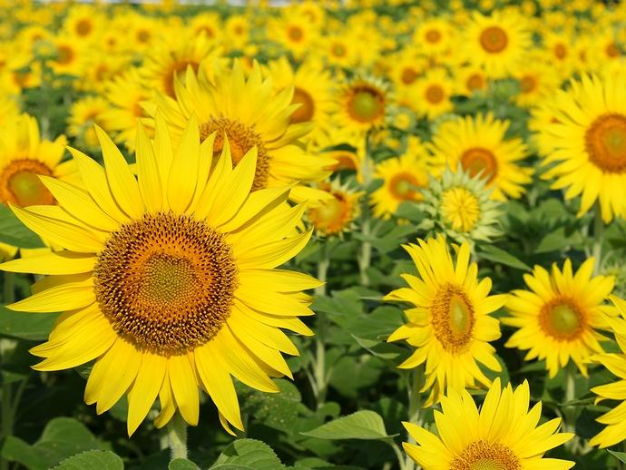 夏到来!砺波平野のひまわり畑