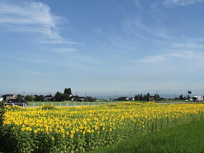 南砺市福野にあるヒマワリ畑