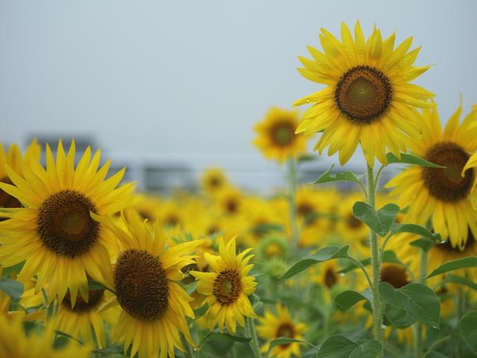 雨の日のひまわり畑にて(南砺市福野地区)