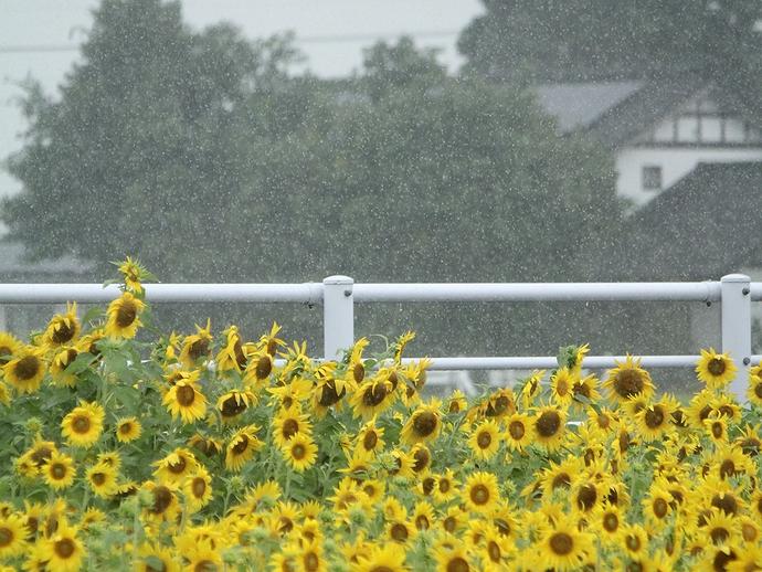 土砂降りのひまわり畑で