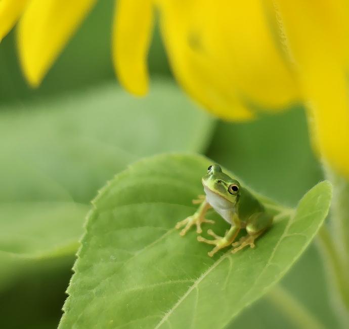 向日葵と蛙のコラボレーション