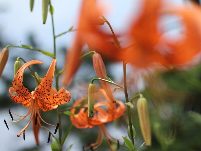 おにゆりの里に咲くオニユリ(石川県白山市)