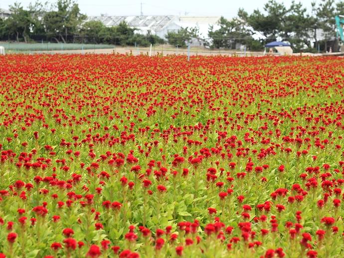 赤いじゅうたん 白山市のケイトウ畑
