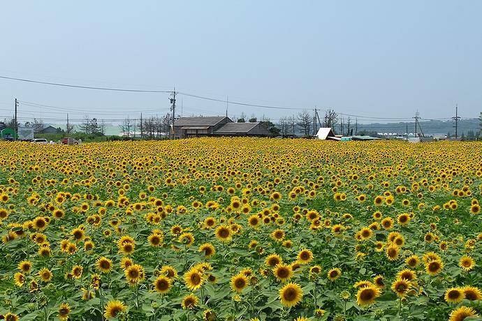 35万本のヒマワリにみつめられる 津幡町ひまわり村にて