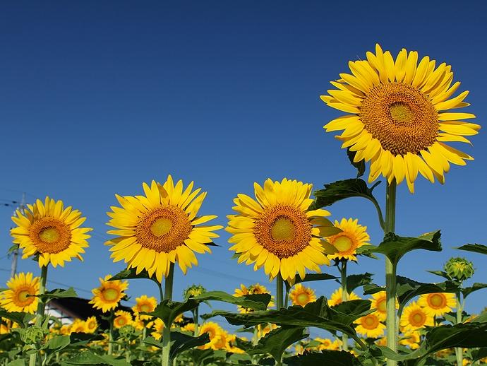 南砺市福光のヒマワリ畑と夏の青空