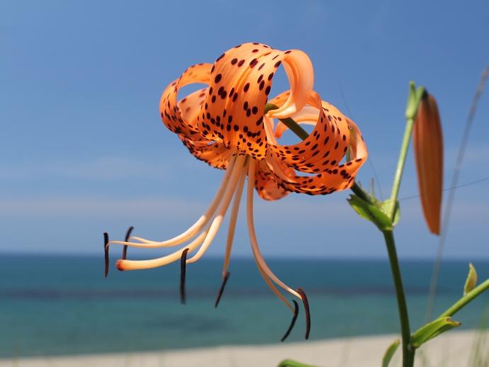 青い日本海とオレンジのオニユリ(白山市おにゆりの里にて)