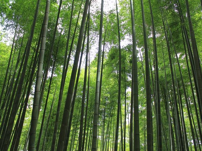 美しい竹林 京都嵐山 竹林の小径にて