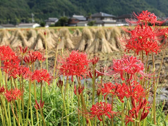 彼岸花と稲わら干し 京都府曽我部の穴太寺周辺