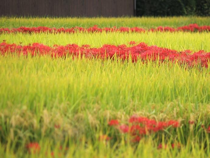 彼岸花で真っ赤な畔 京都府亀岡
