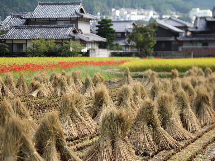 稲わら干しと彼岸花 日本の原風景