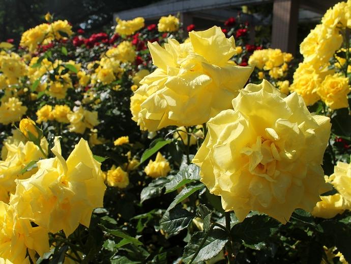 バラ園の朝 眩しい黄色のバラ
