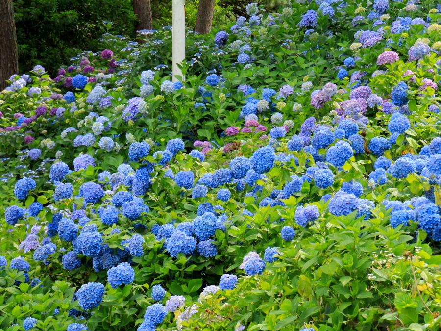太閤山ランドの紫陽花絶景