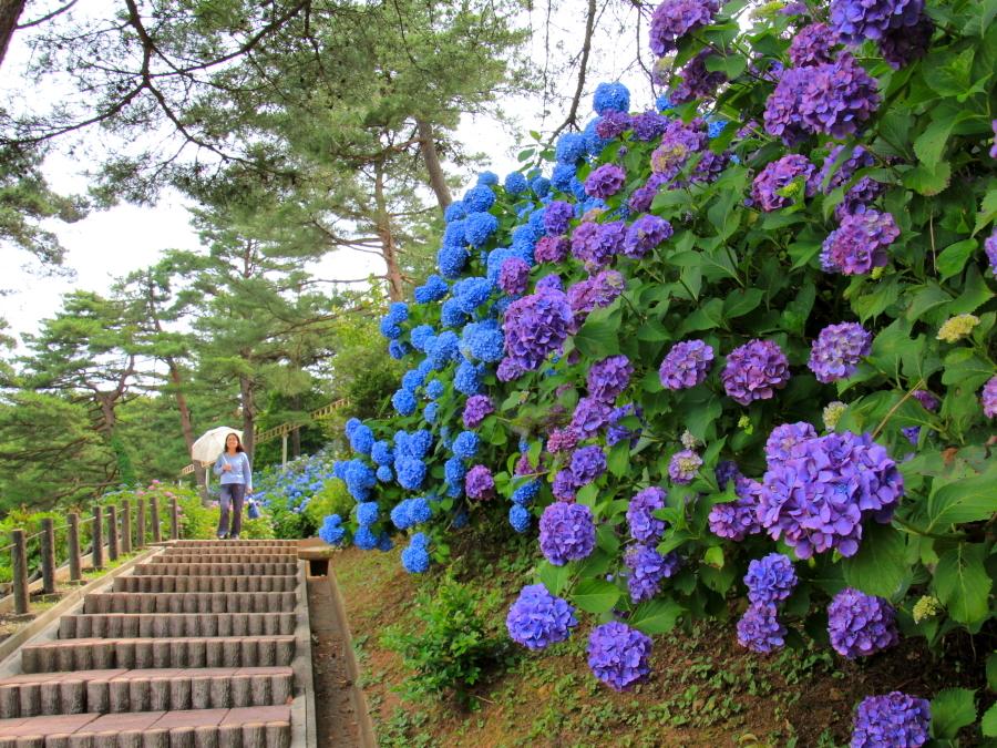 紫陽花の散歩道(富山・太閤山ランドにて)