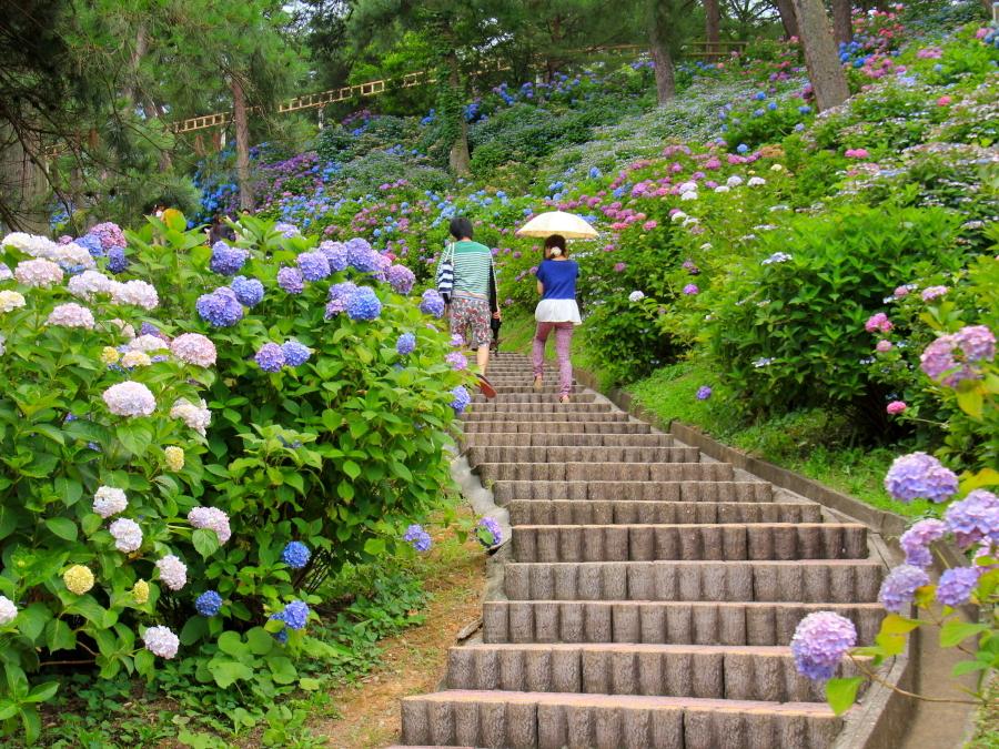 斜面を彩る紫陽花たち(太閤山ランドのあじさい園)