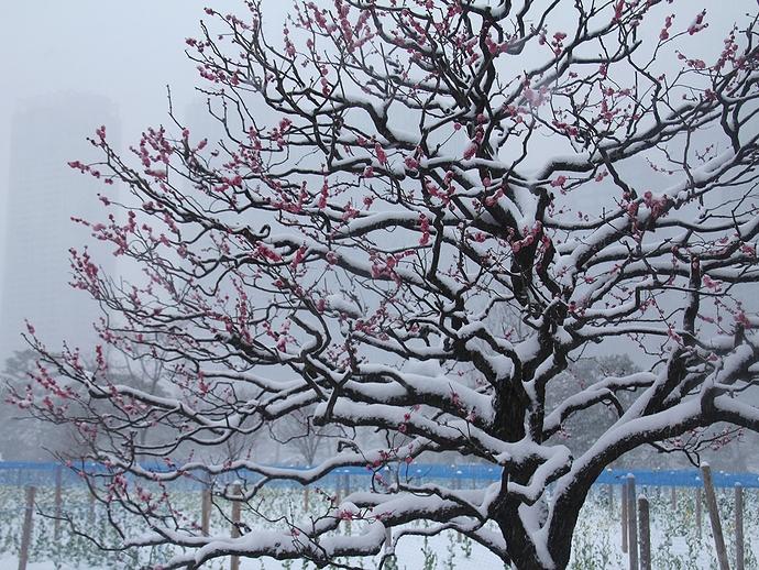 紅梅に雪積もる 大雪の浜離宮恩賜庭園