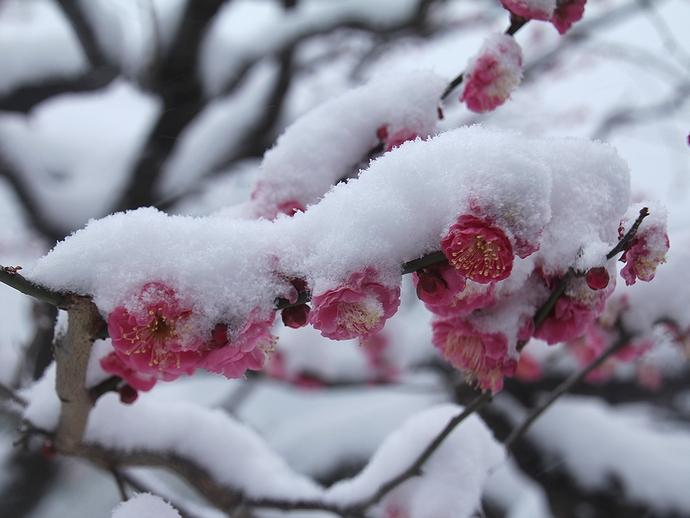 雪帽子を被る紅梅 吹雪の浜離宮恩賜庭園にて