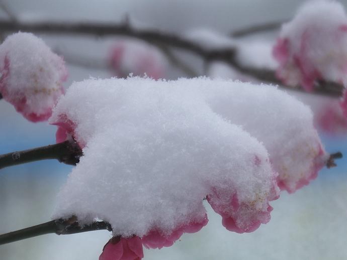 雪と紅梅 大雪の浜離宮恩賜庭園