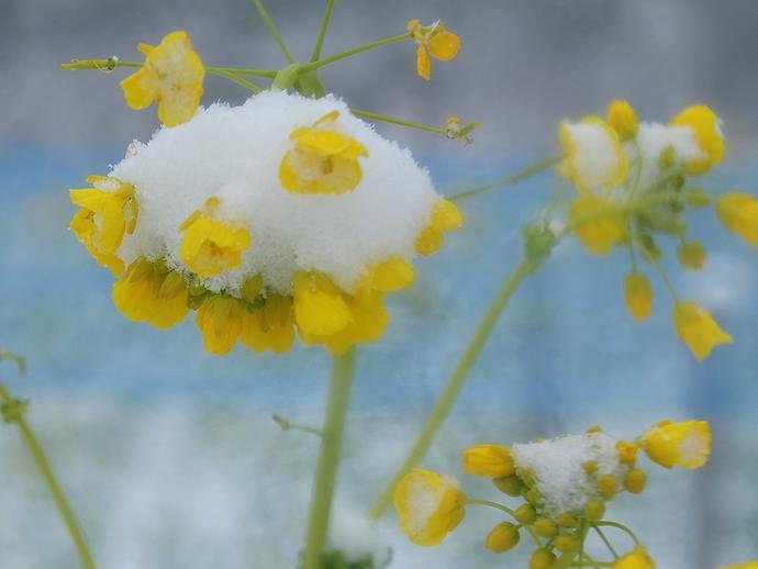 浜離宮の菜の花に雪積もる 2014東京大雪