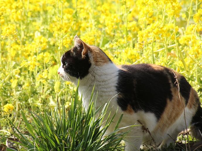 菜の花畑と猫 浜離宮にて