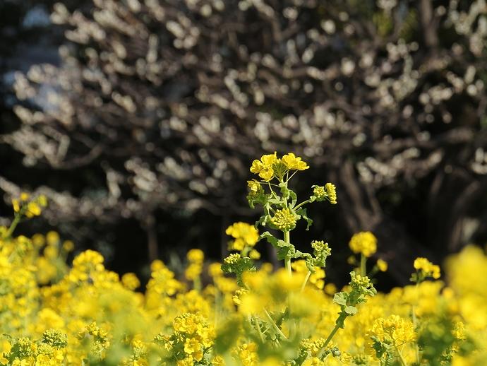 菜の花と梅の花 浜離宮にて