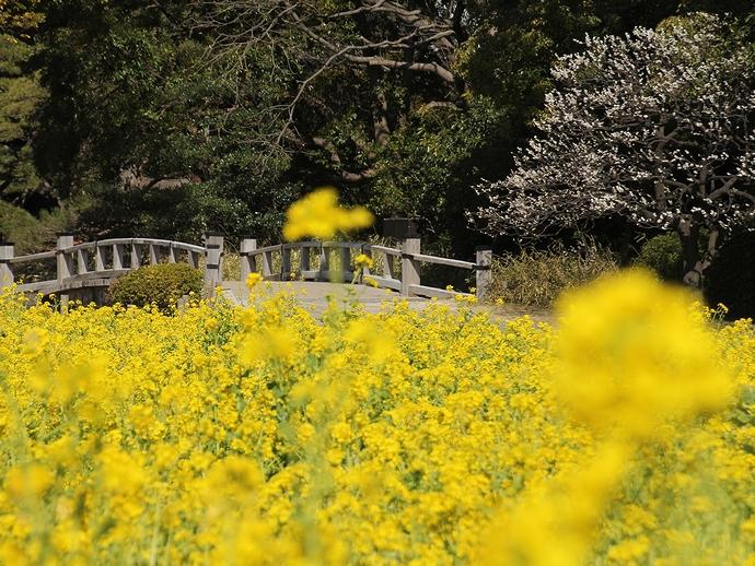 春の浜離宮 菜の花乱れ咲く