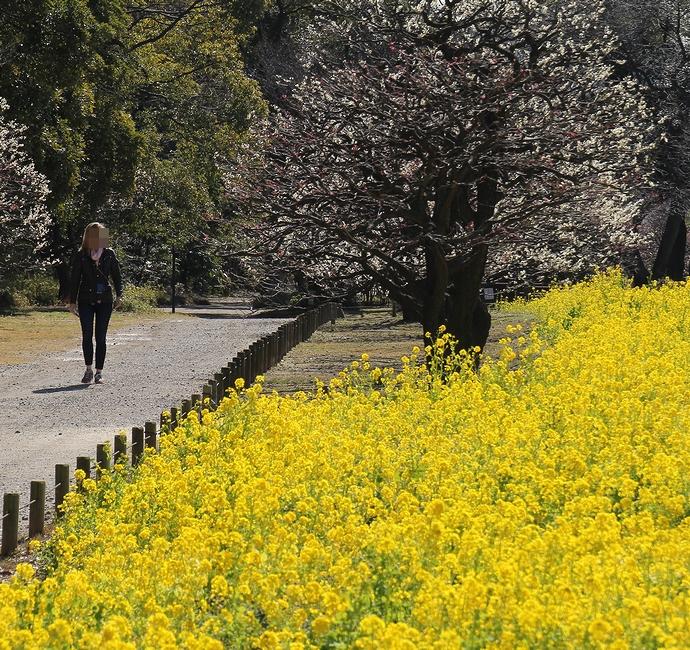 春の散歩シーン 浜離宮の菜の花畑にて
